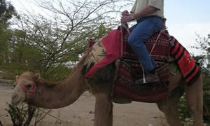 4 Lessons Leaders Can Learn From Camels
